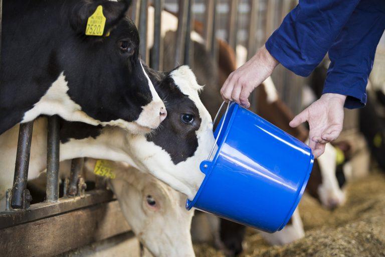 Les veaux qui boivent du lait
